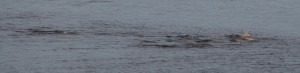 Porpoise hunting right next to the cruise terminal Jacksonville, FL