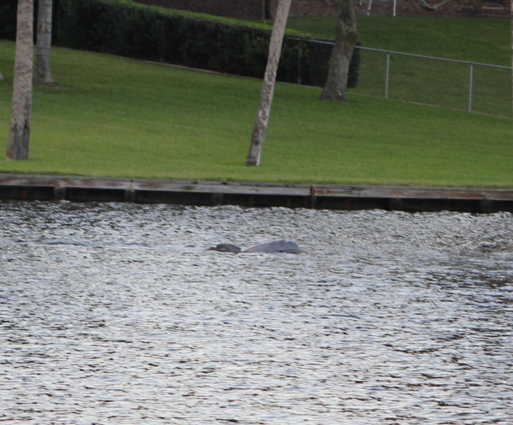 River Dolphin2